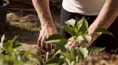Man steekt een plant in de grond als taak voor een helppie